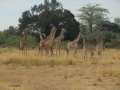 Wildlife-Safari-001